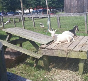 WebersHappyGoats